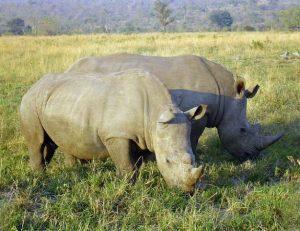 2 næsehorn der græsser på en savanne